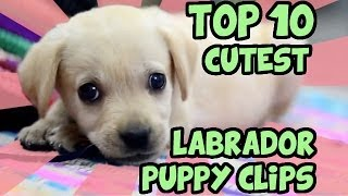 Download TOP 10 CUTEST LABRADOR PUPPY VIDEOS OF ALL TIME Video