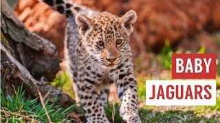Download Baby Jaguar Cubs Are Mischievous Compilation! Video