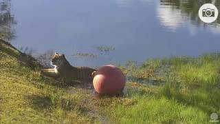 Download Big cats on vacation Video