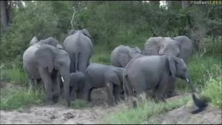 Download Safari Live : A must see Elephant sighting today on drive with Jamie May 09, 2017 Video
