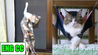 Download 猫部屋の網戸にカナブン襲来!その時猫達は!?【Eng CC】 Video