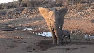 Download Baby elephant discovers his trunk, Mashatu, Botswana Video