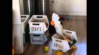 Download Harley my funny cockatoo Video