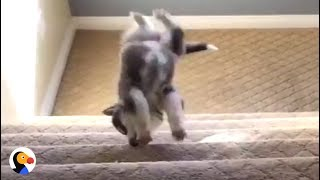 Download Puppies vs Stairs: Pups Figure Out The Stairs | The Dodo Video