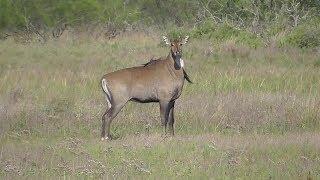 Download Nilgai. Laguna Atascosa NWR Video