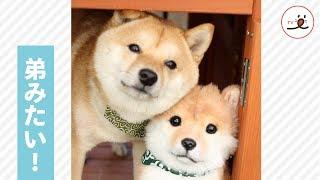 Download 柴犬さんの隣にいるぬいぐるみ、実は…☺️ 💕【PECO TV】 Video