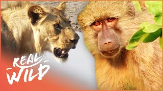 Download Valley Of The Golden Baboons [Monkey Documentary] | Real Wild Video
