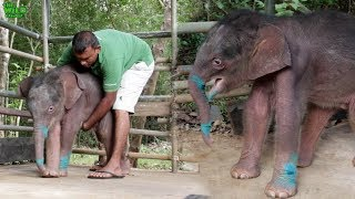 Download Cutest and the most aggressive baby elephant ever. Rams everyone! Video