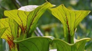 Download Attenborough: Venus Fly Trap - BBC Earth Video