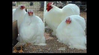 Download White Cochin Chicken | Video