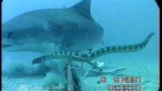 Download Shark Vs. Sea Snake Video
