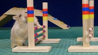 Download Tiny Dwarf Hamster Agility Course - Dumptruck Vs Porkchop Video