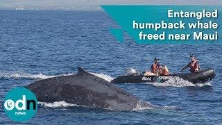 Download Entangled humpback whale freed near Maui Video
