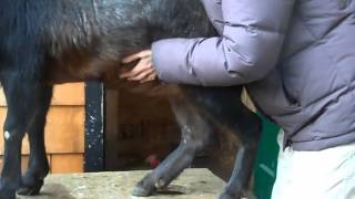 Download An easy way to tell if your goat is pregnant at 3 months along Video