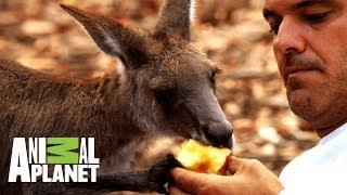 Download Frank comparte con canguros y emus | Wild Frank: Tras la evolución de las especies | Animal Planet Video
