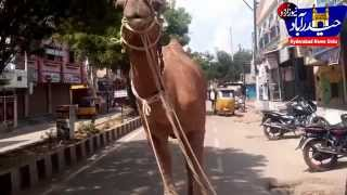 Download Beautiful Animals of Qurbani. camel & goats Video