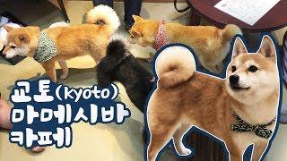 Download (심쿵주의)일본에만 있다는 작은 시바견 카페를 가봤습니다 Video