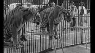 Download Vorschau: Tiger dressiert von Louis Knie (Zeeb 1973) Video
