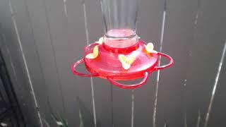 Download Bella Hummingbird Nest Cam 08-09-2018 10:13:25 - 11:13:25 Video