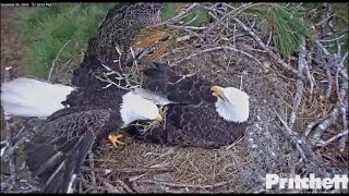 Download SWFL Eagles ~ M15 Brings Grasses to Nest 12.6.16 Video