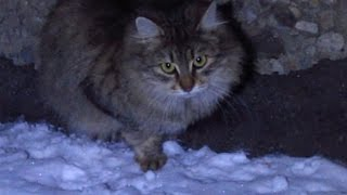 Download Fluffy cat running on the snow Video