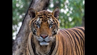 Download Kanha. Land of the Tiger | Full Documentary Video