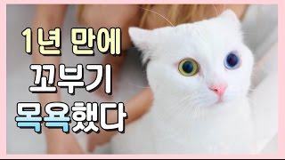 Download 1년만에 고양이 목욕! - 얌전한 꼬부기의 미모 보세요 😍 Video