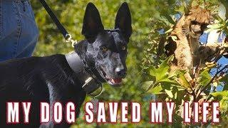Download MY DOG SAVED MY LIFE... SHOCKING BATTLE BELGIAN MALINOIS VS. MOUNTAIN LION Video