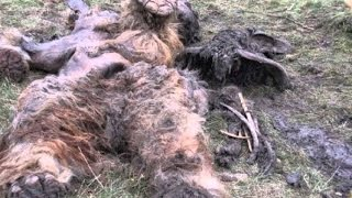 Download COMPELLING BIGFOOT EVIDENCE FOUND 2016 (REAL BIGFOOT/SASQUATCH PROOF/EVIDENCE) Video