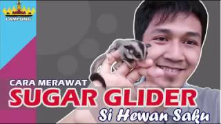 Download Cara Merawat Sugar Glider || How to care for Sugar Glider Video