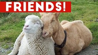 Download Funniest Unlikely Animal Friendships Compilation | Funny Pet Videos Video