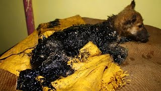 Download Puppy rescued covered in tar, watch her happy ending! Video
