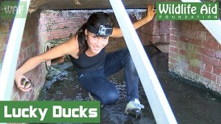 Download Vet saves ducklings from drowning Video