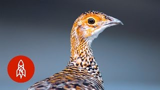 Download Can This Rare Prairie Chicken Come Back from the Brink? Video