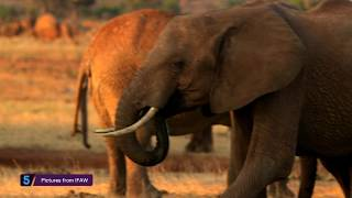 Download Prince William speaks out against poaching and illegal ivory trade - 5 News Video