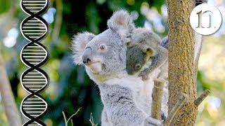 Download The koala code: Secrets of the koala genome Video