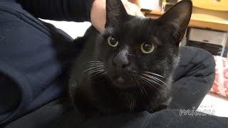 Download 黒猫のクロ Black cat,Kuro【瀬戸の黒猫日記】 Video