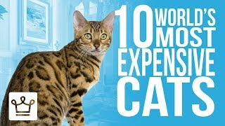 Download Top 10 Most Expensive Cat Breeds In The World Video