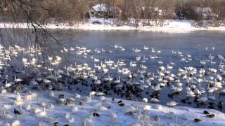 Download Trumpeter Swans Monticello Video