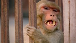 Download Monkey saves a life - World's Weirdest Events: Episode 1 Preview - BBC Two Video