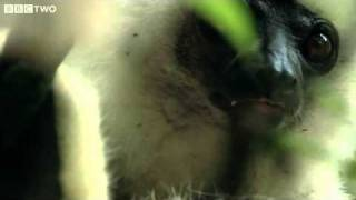 Download Rare Footage Of Endangered Silky Sifakas - Madagascar, Lost Worlds, Preview - BBC Two Video