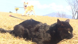 Download 柴犬と黒猫♪みんなでお散歩 walk dog with cat Video