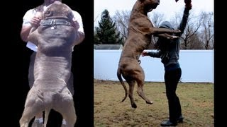 Download Huge blue bully pitbull service dog scares people in stores! Video