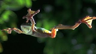 Download Gliding Leaf Frogs - Planet Earth - BBC Earth Video