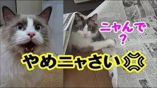 Download やんちゃ坊に翻弄される日々 猫コハク君 Ragdoll Cat Kohaku & Howl Video