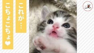 Download あわわわわ・・・! 飼い主さんのこちょこちょに放心状態の子猫ちゃん♡【PECOTV】 Video
