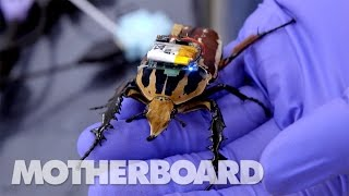 Download The Cyborg Beetles Designed to Save Human Lives Video