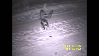 Download Bobcat VS Owl Continued... Video
