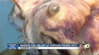 Download Massive fish die-off at popular fishing spot Video
