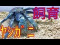 Download 危険生物【ヤシガニ】を買ったので飼育 始めました Video